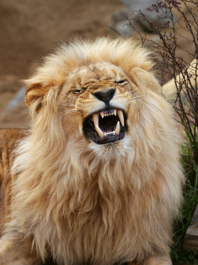 Angola lion stock images