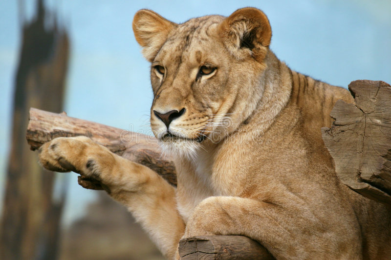 Angola lion, lioness royalty free stock photos