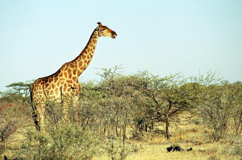 angolan etoshagiraffnamibia nationalpark fotografering för bildbyråer