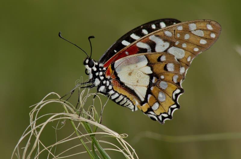 angolan fjärilsladywhite royaltyfri fotografi