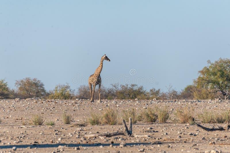 Angolan Giraffe near a water hole. An Angolan Giraffe - Giraffa giraffa angolensis- Walking on the plains of Etosha National Park, Namibia stock photos