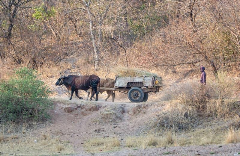 Angolan Wagon. Rural Angola, October 2017 - A working cow wagon stock photo