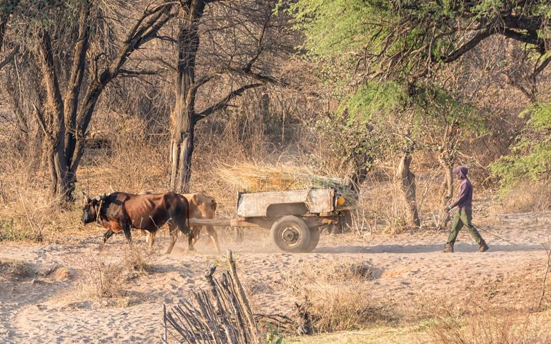 Angolan Wagon. Rural Angola, October 2017 - A working cow wagon royalty free stock photo