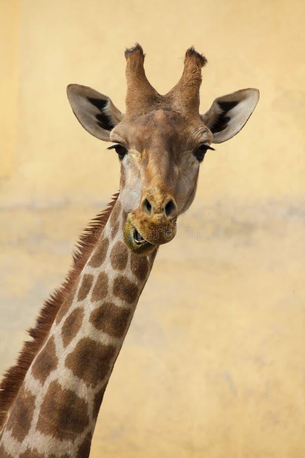 Angolansk angolensis för giraffGiraffacamelopardalis arkivfoto