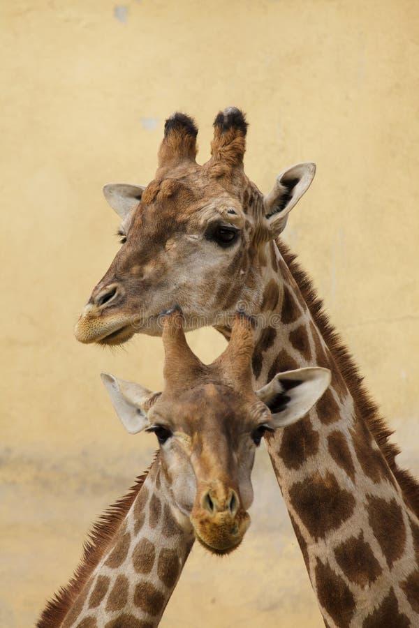 Angolensis angolano dos camelopardalis do Giraffa do girafa imagens de stock