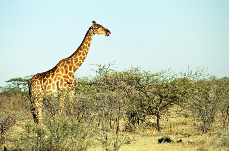 Angolese giraf, Etosha Nationaal Park, Namibië stock afbeelding