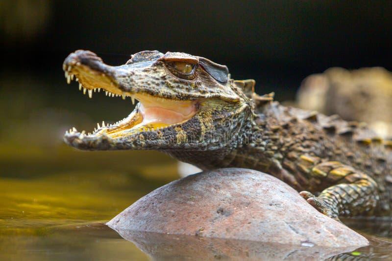 Angolo basso di crocodylus acutus fotografia stock