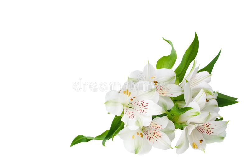 Angolo bianco dei fiori di alstroemeria su fondo bianco isolato vicino su, mazzo dei fiori del giglio per il confine decorativo fotografie stock