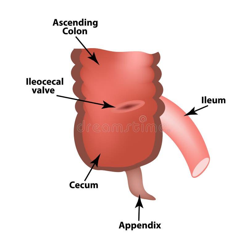 Angolo Ileocecal Valvola Ileocecal Ammortizzatore di Bauginiev s L'ileo, l'intestino cieco, il Apendix colon Infographics Illustr illustrazione di stock