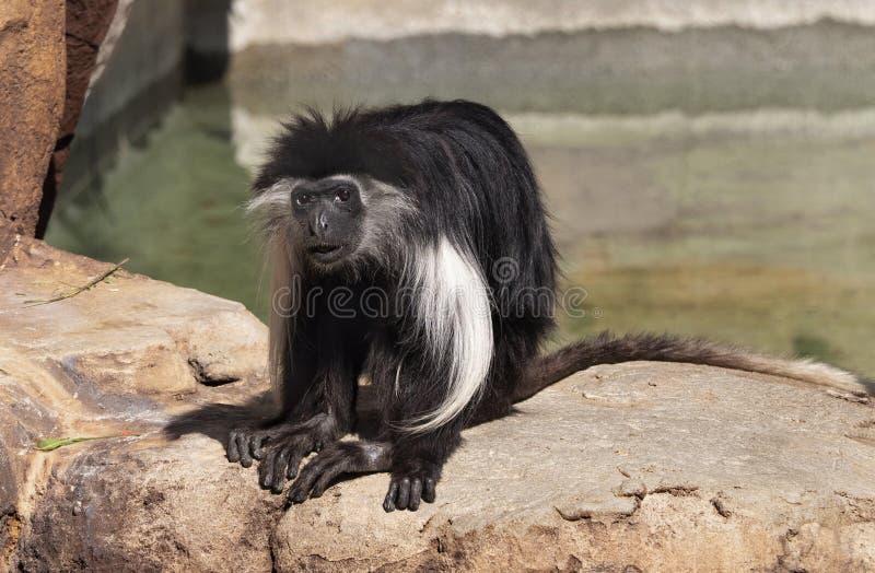 Angolska Colubus małpa przy zoo Tampa przy Lowry parkiem obrazy stock