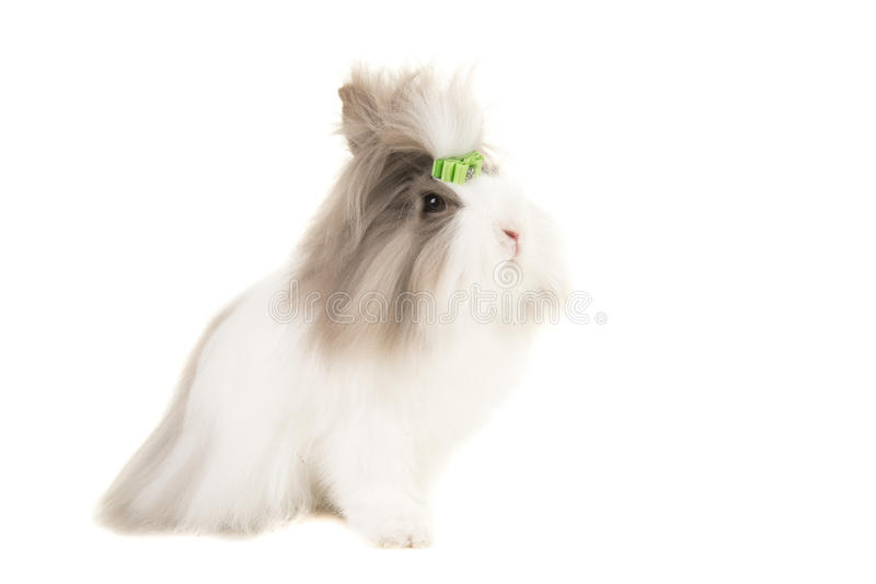 Angora bunny seen from the side wearing a green bow isolated on a white background royalty free stock photo