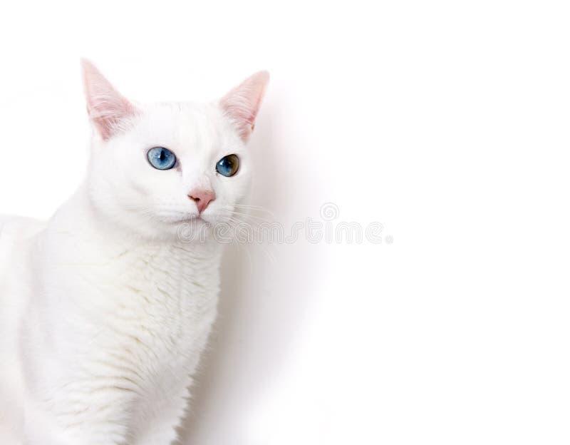Angora Cat stock image