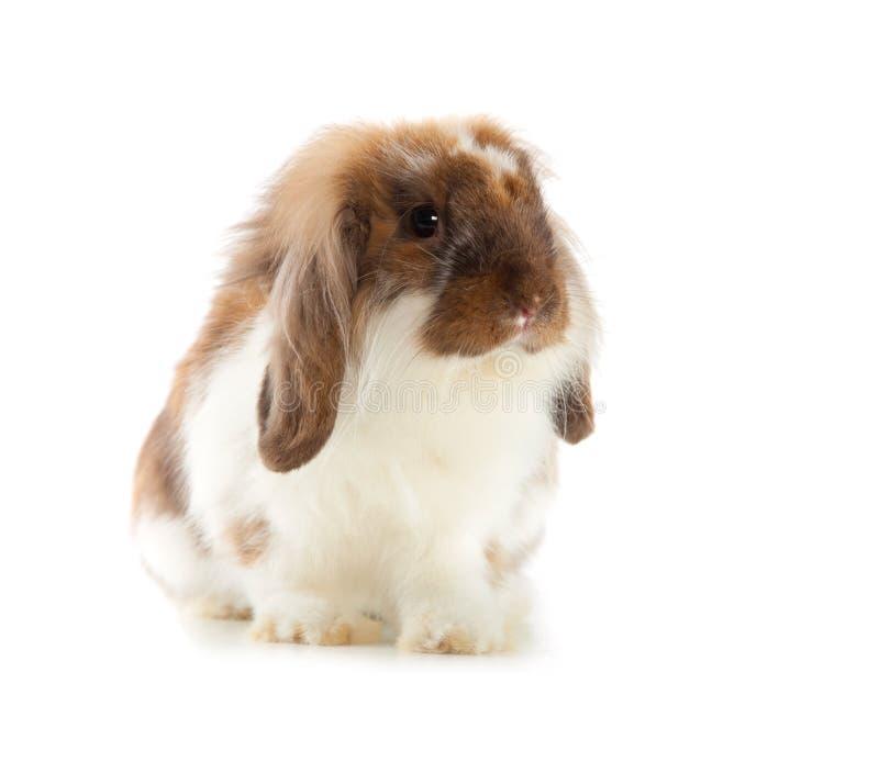 Angora de lapin d'isolement sur le fond blanc photographie stock libre de droits