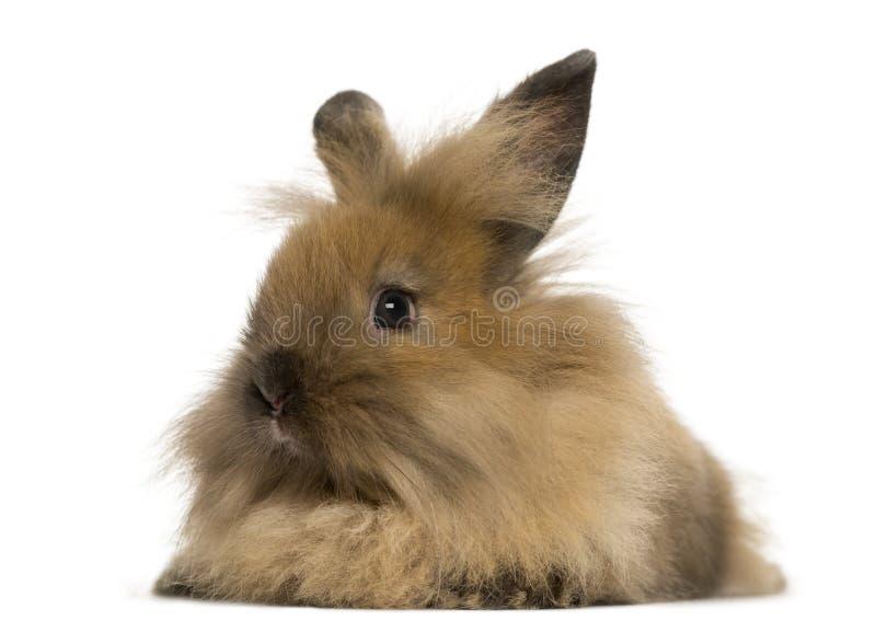 Angora geïsoleerd konijn, royalty-vrije stock fotografie