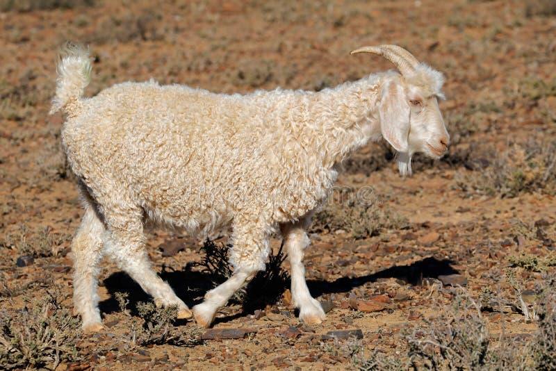 Angora geit op landelijk landbouwbedrijf stock afbeelding
