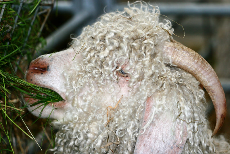 The Angora Goat royalty free stock images