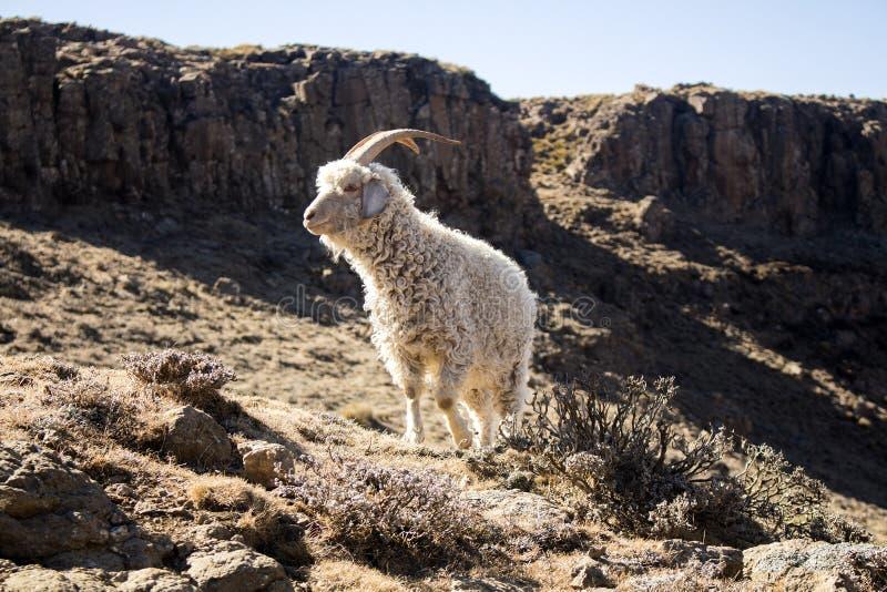 Angora goat is feeding in the Maluti mountains, Drakensberg, Lesotho. Angora goat are feeding in the Maluti mountains, Drakensberg, Lesotho. Winter in Africa stock photos