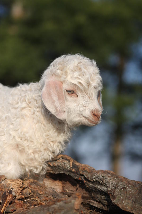 Angora goat kid stock images