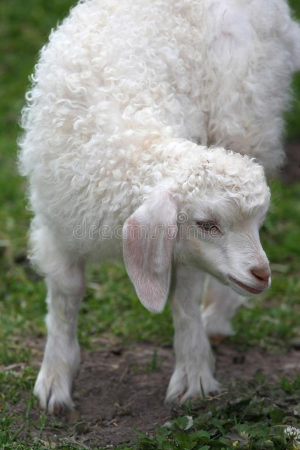 Angora Goat Lamb. Cute white angora goat lamb with large floppy ears stock image