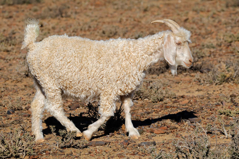 Angora goat on rural farm stock image