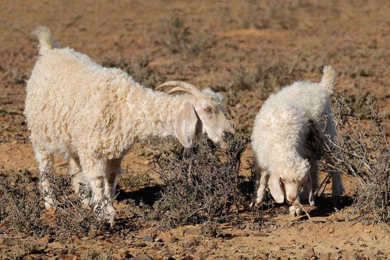 Angora goats on a rural farm royalty free stock images