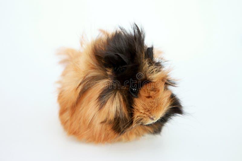 Angora guinea pig royalty free stock images