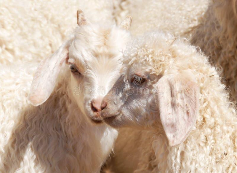 Angora jonge geitjes stock afbeelding