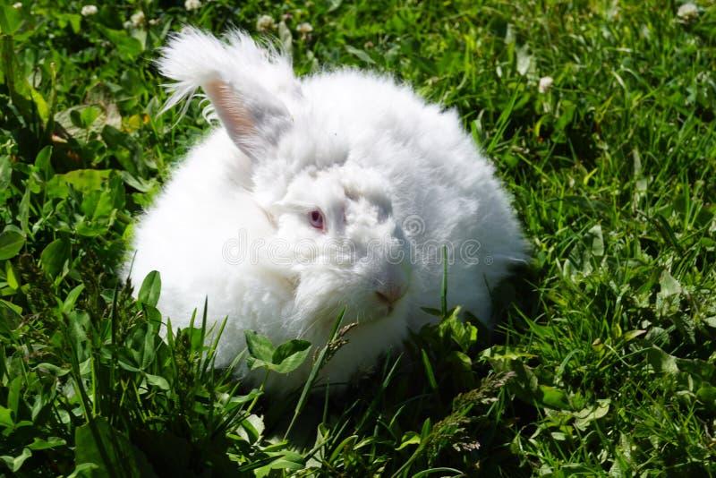 Angora konijn stock afbeelding