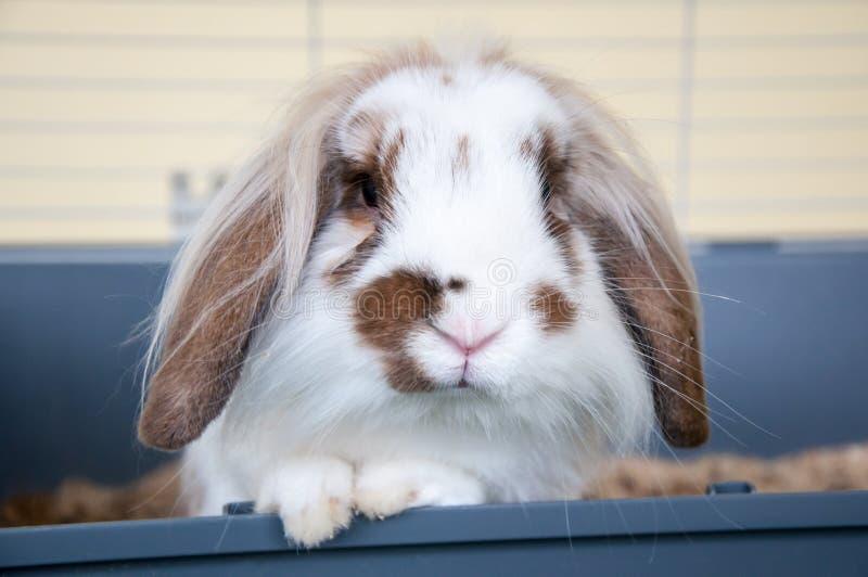 Angora konijn met hangende oren royalty-vrije stock fotografie