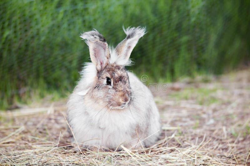 Angora konijn op stro royalty-vrije stock fotografie