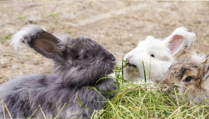 Angora konijnen die een gras eten royalty-vrije stock fotografie