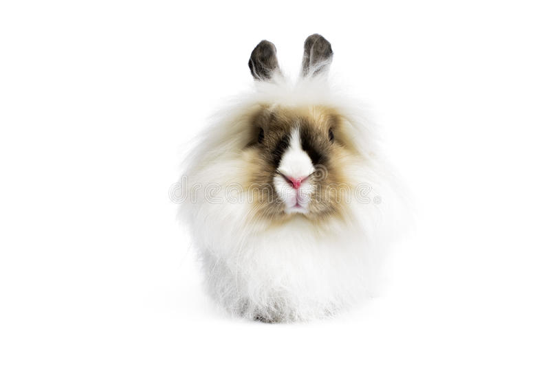 Angora Lion Head Rabbit. (Oryctologus cuniculus) on white background royalty free stock image