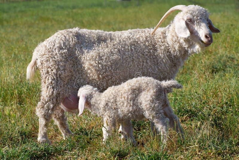 Angora moeder en zoon stock afbeelding