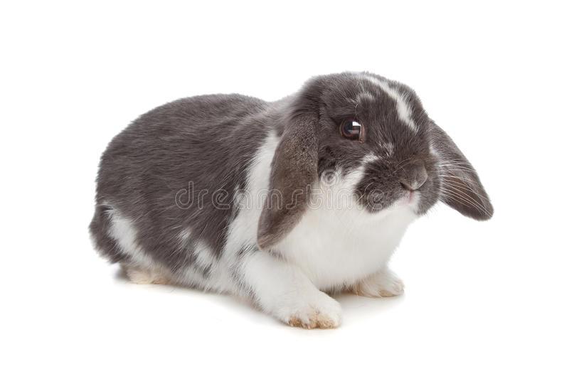 Angora rabbit. In front of a white background stock photo