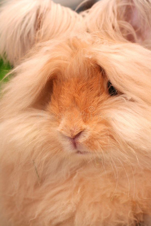 Angora rabbit. A closeup of the head and face of a 4-month old English Angora rabbit royalty free stock images