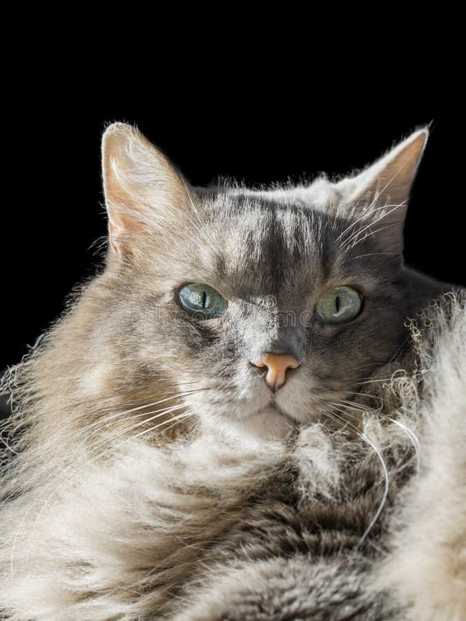 Angora Siberian male cat with odd eyes. Black background stock image