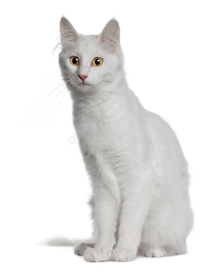Angora turc (18 mois) photo libre de droits