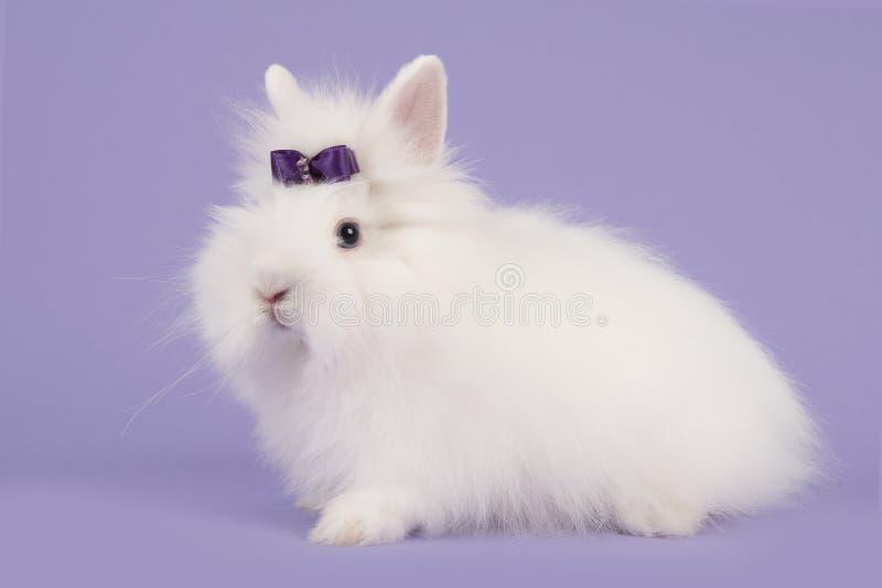 Angora wit konijn met een purpere boog op een lavendel purpere achtergrond stock foto's
