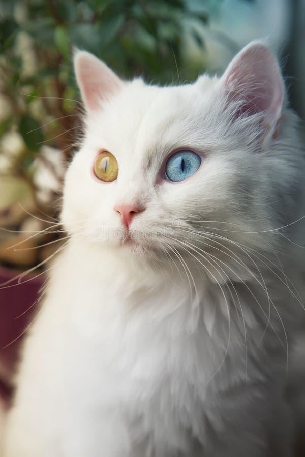 Angora witte kat met blauwe en gele ogen die op venstervensterbank zitten en nieuwsgierig kijken royalty-vrije stock fotografie