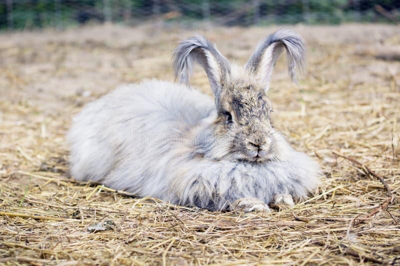 ANGORSKI królik NA słomie obraz royalty free