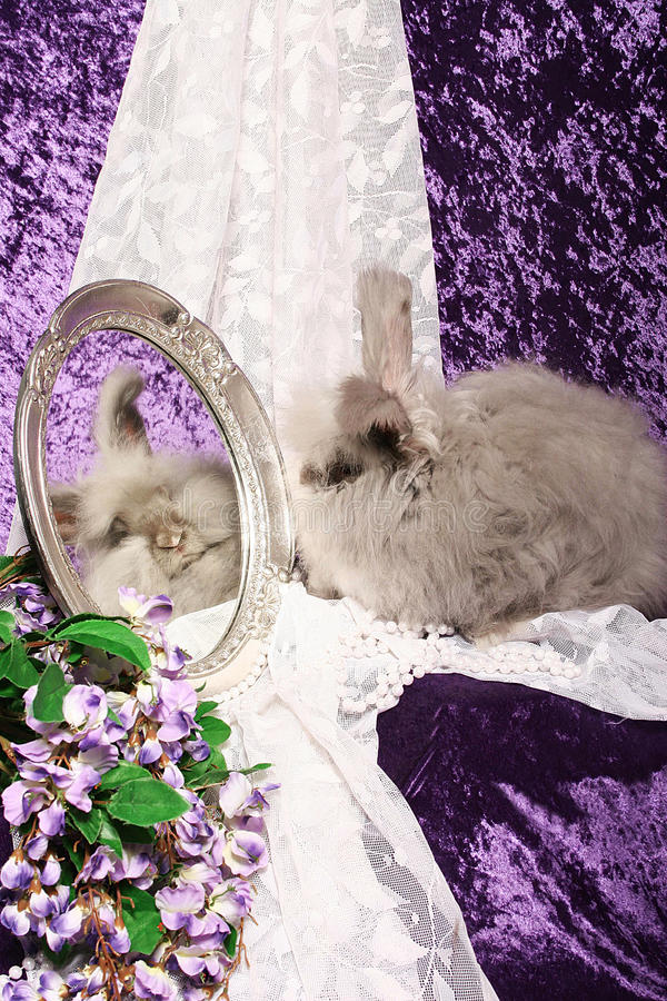 angorskich spojrzeń lustrzany królik fotografia stock