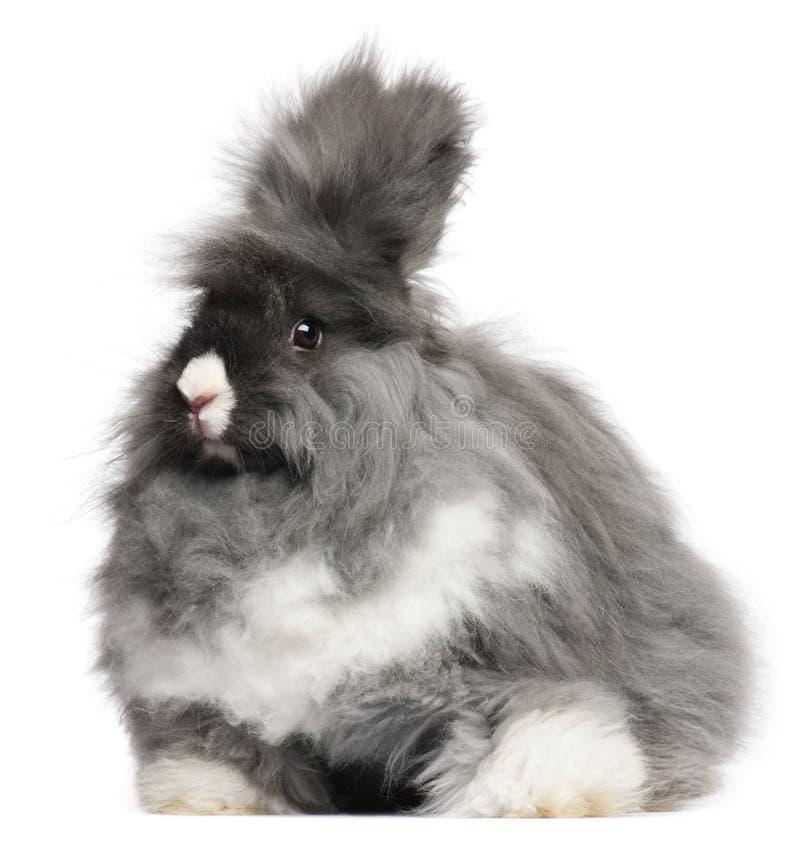 angorskich tła anglików frontowy królika biel obraz royalty free