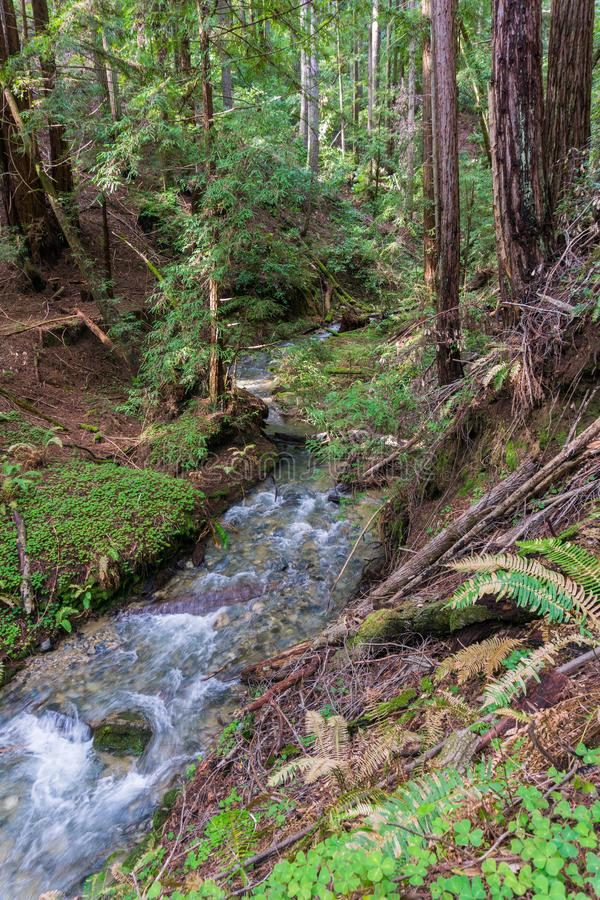 Angra de fluxo rápida em uma floresta das árvores da sequoia vermelha, Henry Cowell State Park, Felton, Califórnia fotos de stock