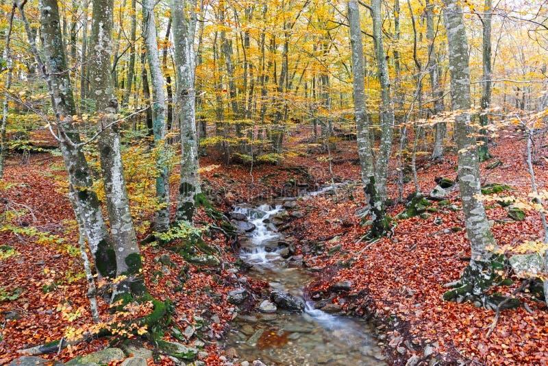 Angra do wirh de Autumn Beech Forest transversalmente no parque natural de Montseny fotografia de stock
