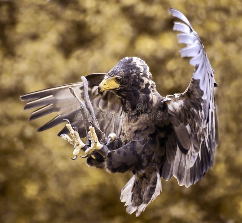 Angriff des Falken stockbild
