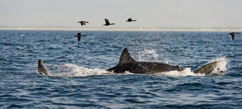 Angriff des Weißen Hais (Carcharodon Carcharias) stockfotos