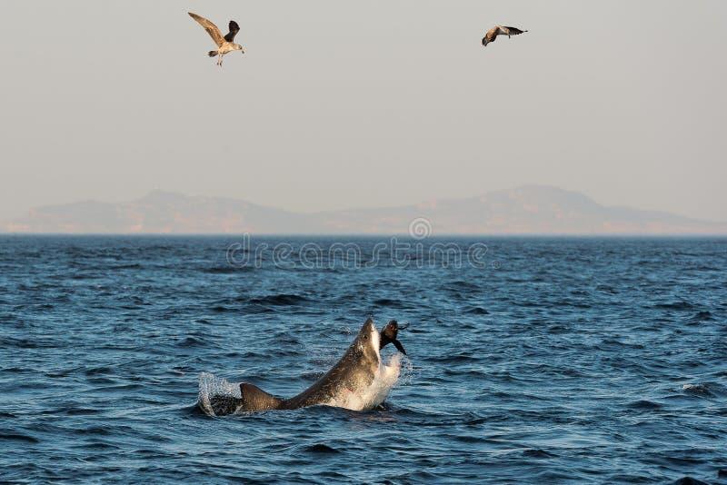Angriff des Weißen Hais (Carcharodon Carcharias) lizenzfreie stockbilder