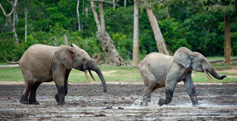 Angriff eines Elefanten. stockbild