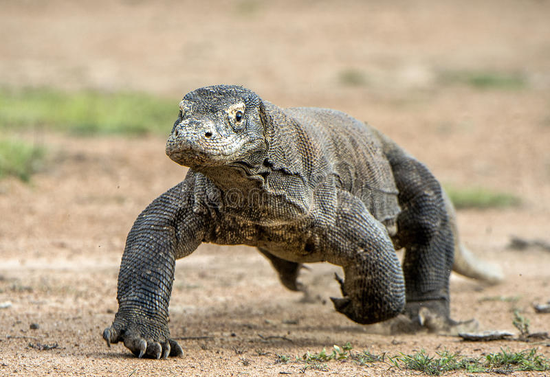 Angriff eines Komodowarans Der Drache, der auf Sand läuft Das laufende Komodowaran (Varanus komodoensis) stockbild