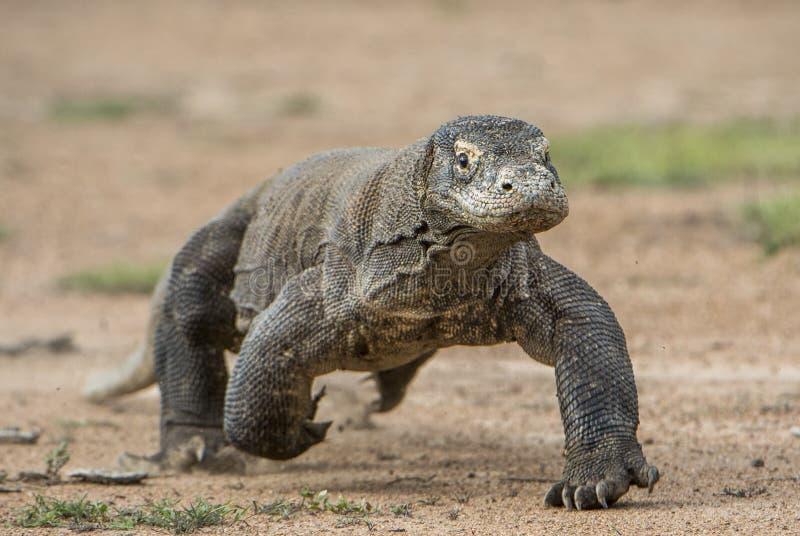 Angriff eines Komodowarans Der Drache, der auf Sand läuft Das laufende Komodowaran (Varanus komodoensis) lizenzfreie stockbilder